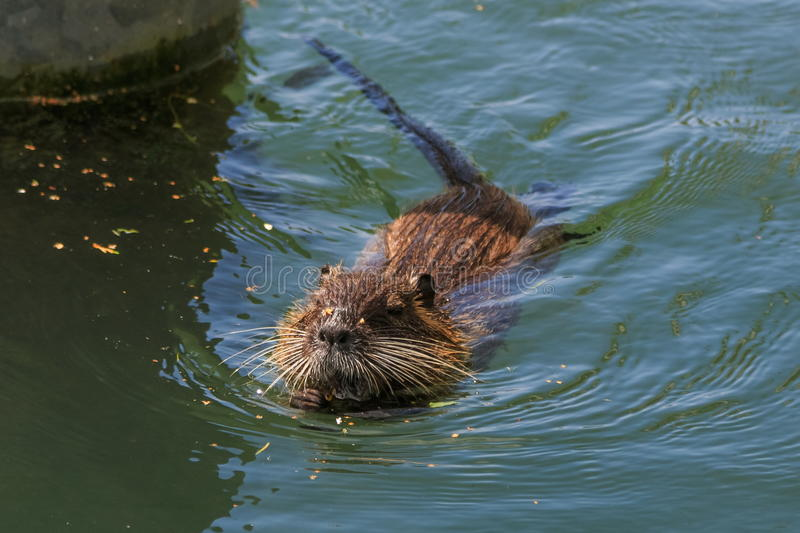 Muskrat (Ondatra Zibethica) swimming stock photography