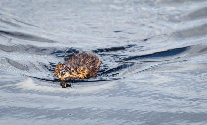 Muskrat & x28; Ondatra Zibethicus& x29; nadadas avante na água azul clara reflexiva e efervescente fotografia de stock royalty free