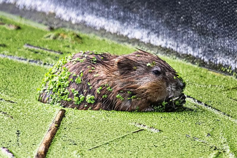 A muskrat from the side covered in green duckweed stock photos