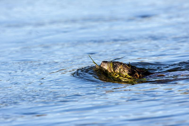 Muskrat swimming in Gila river in western Phoenix area. This muskrat is carrying grass to help fortify his den in the Gila River in western Phoenix, Arizona stock photo
