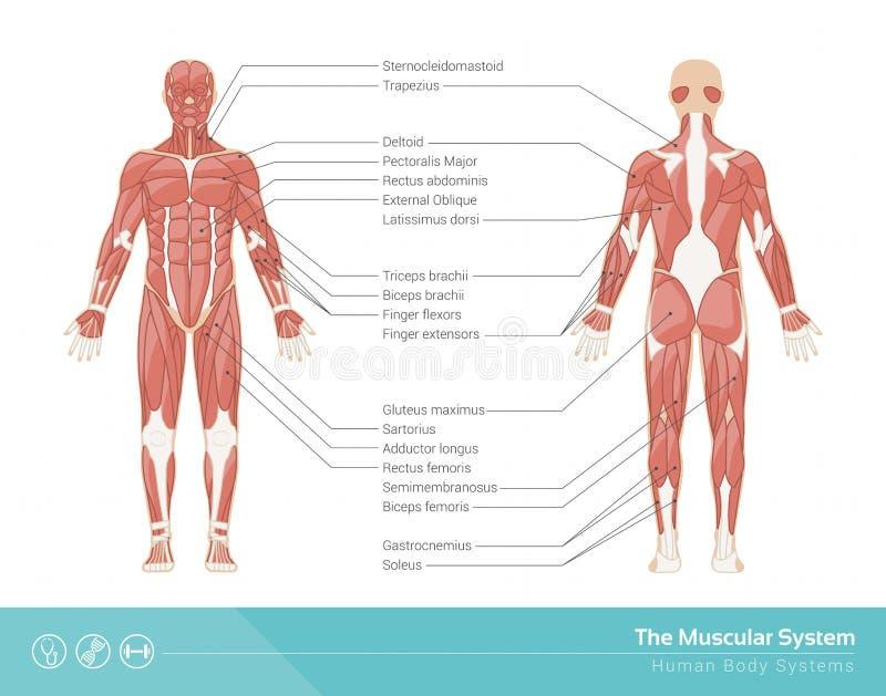 muskulöst system royaltyfri illustrationer