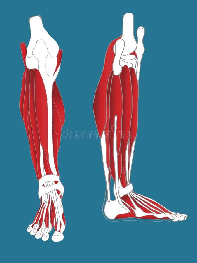 muskulöst system för ben royaltyfri illustrationer