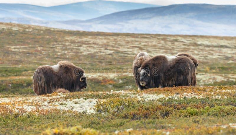 Muskus-os in daling het gekleurde plaatsen in Dovrefjell Noorwegen royalty-vrije stock afbeelding