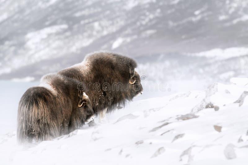 Muskusos in de winter royalty-vrije stock foto