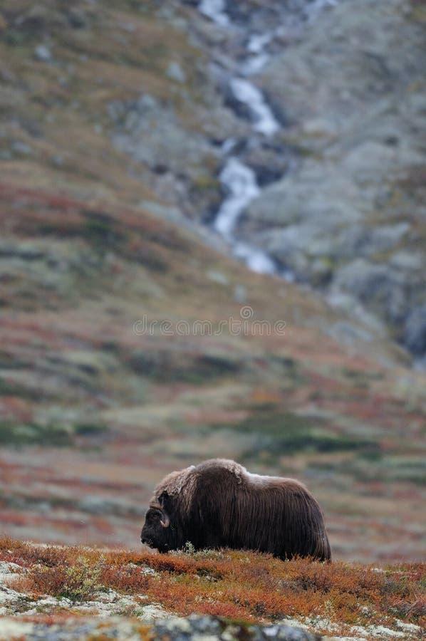 Muskusos in het wilde landschap royalty-vrije stock afbeeldingen