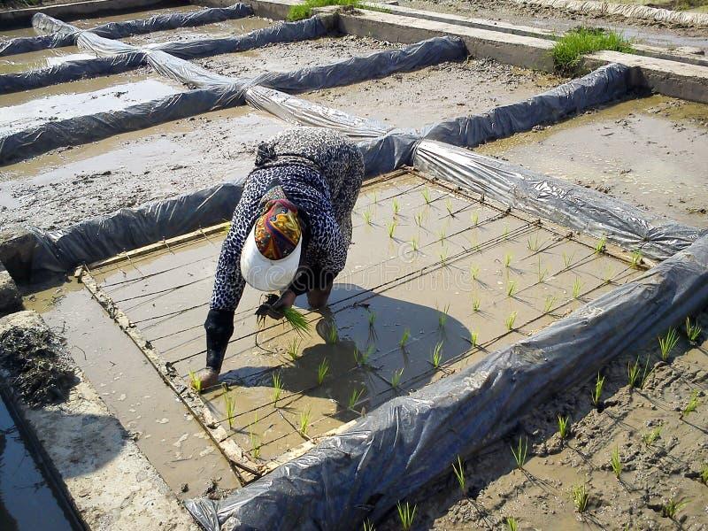 Muslim för arbetskvinnarisfält En muslimsk kvinnaarbetare arbetar på rislantgården med hijab i Iran som är gilan royaltyfri bild