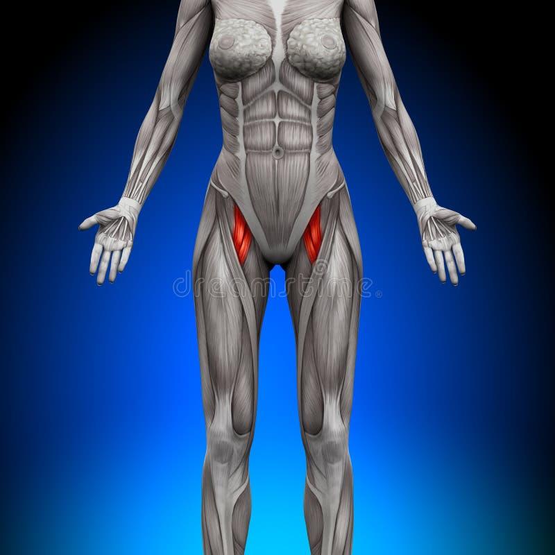 Muslos - Músculos Femeninos De La Anatomía Stock de ilustración ...