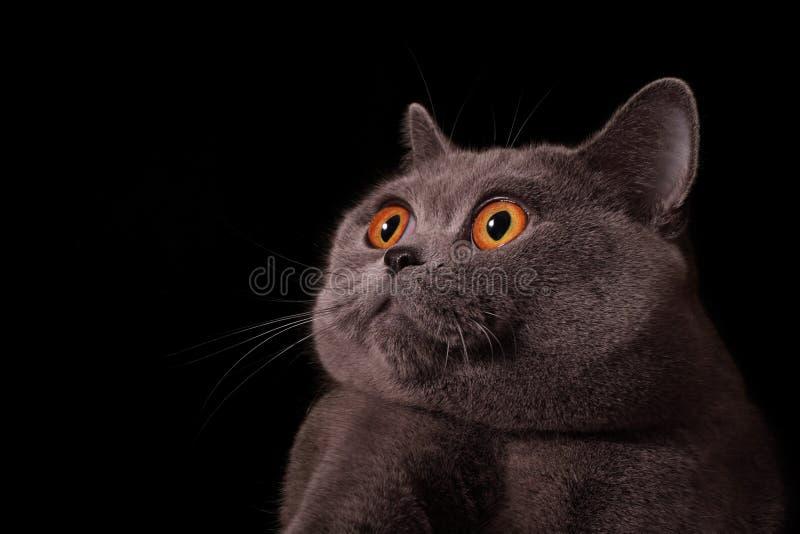 Muso del gatto britannico grigio immagine stock libera da diritti