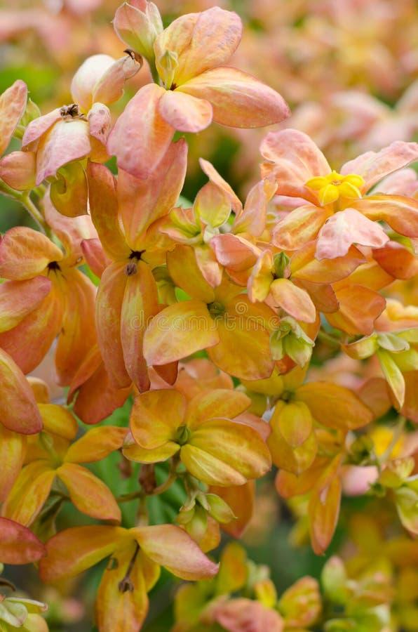Mussaenda Philippica维尔京树在庭院里 免版税库存照片