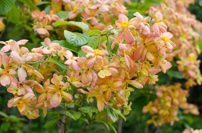 Mussaenda Philippica维尔京树在庭院里 库存图片
