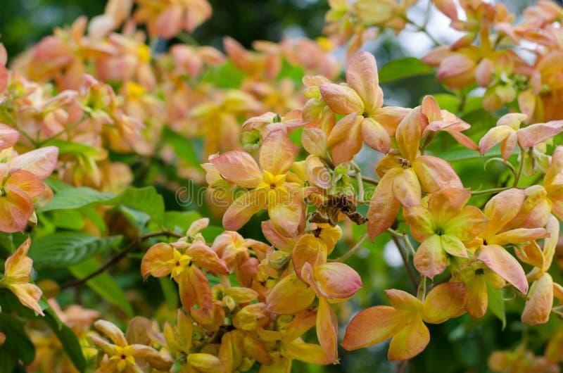Mussaenda Philippica维尔京树在庭院里 免版税库存图片