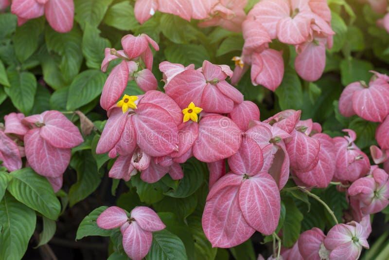Mussaenda philippica, Dona Luz oder Dona Queen Sirikit blühen im Garten lizenzfreies stockfoto
