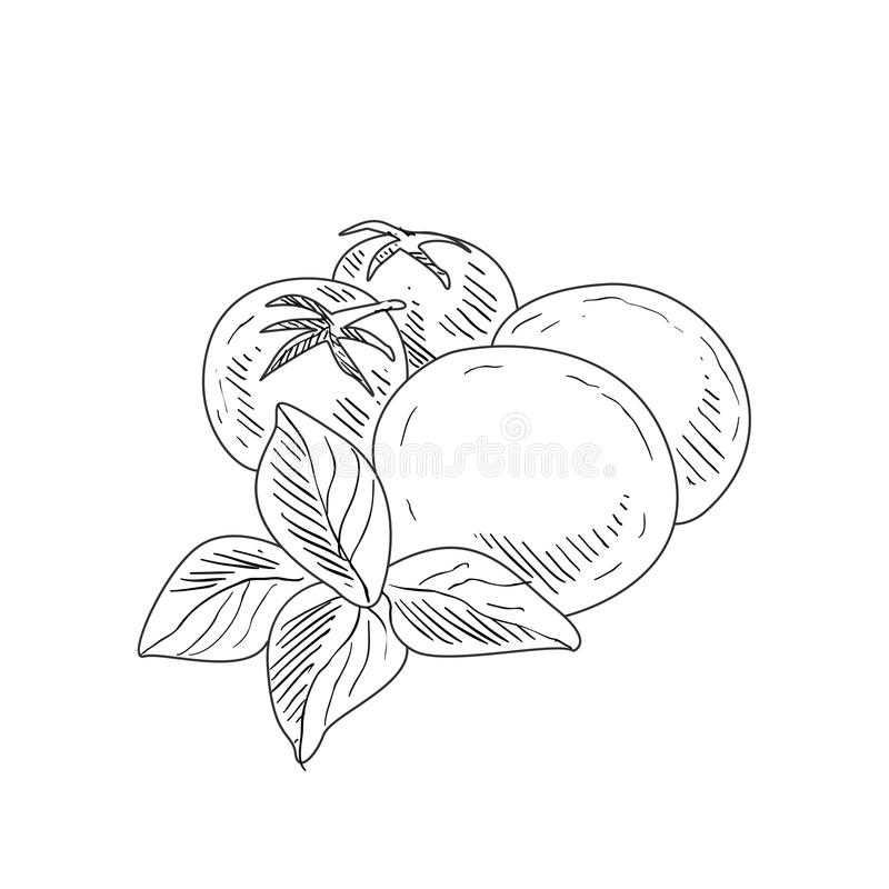 Mussarela, tomate e Basil Hand Drawn Realistic Sketch ilustração do vetor