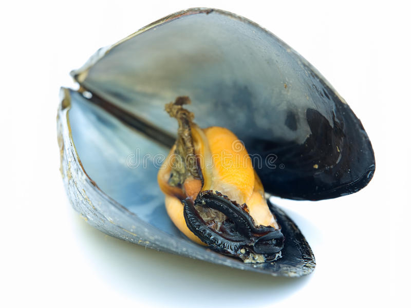 Mussel. Just a open boiled mussel on a white background stock image