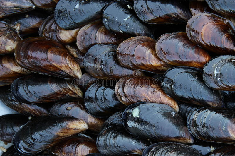 Mussel. A group of mussel for backround royalty free stock images
