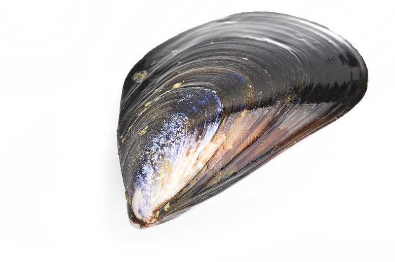 Mussel. Black mussel close up on white background stock image