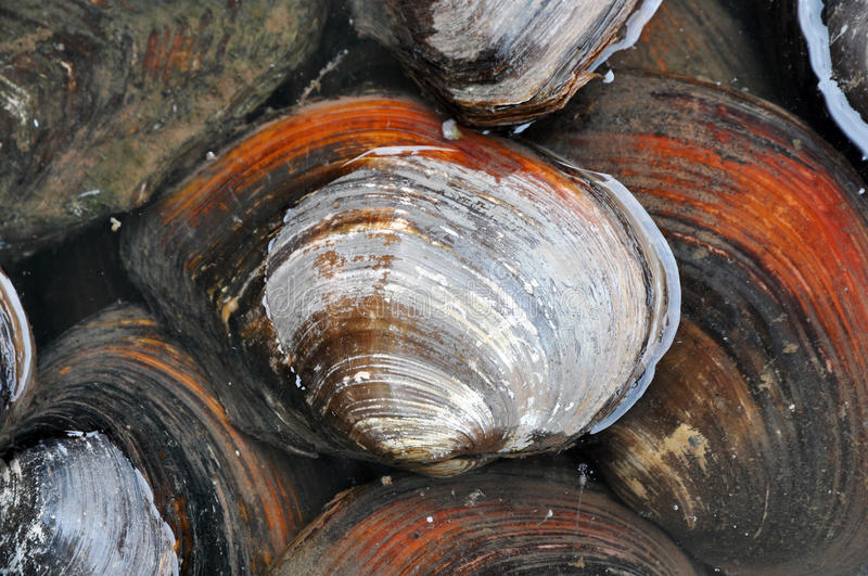Mussel. A group of big mussel for background royalty free stock photo