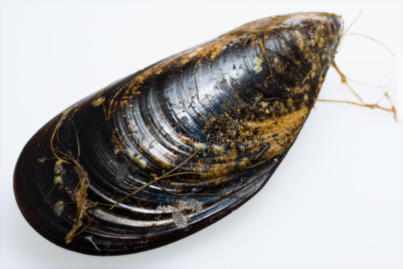 Mussel. A close up of a fresh raw mussel on white background with faint shadow (progressive DOF stock photography