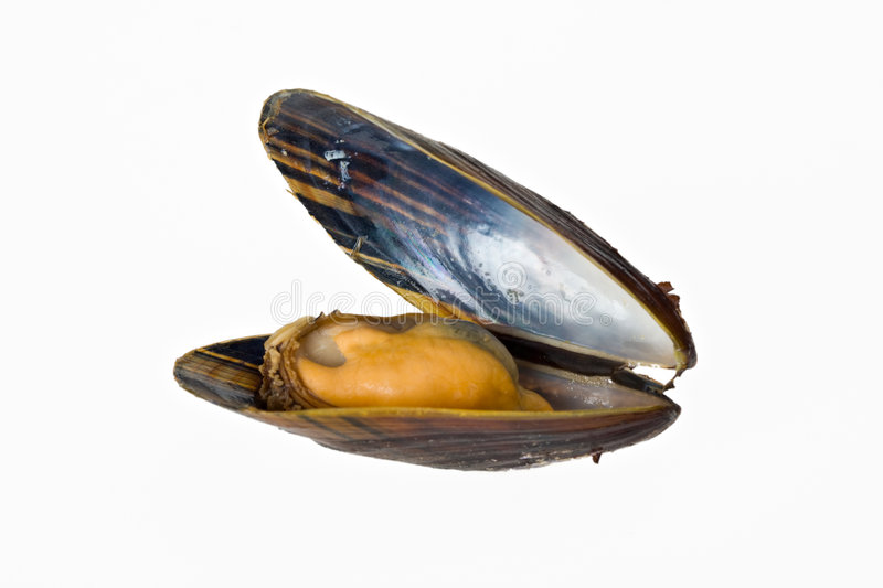 Mussel. Single blue mussel isolated on white background stock images