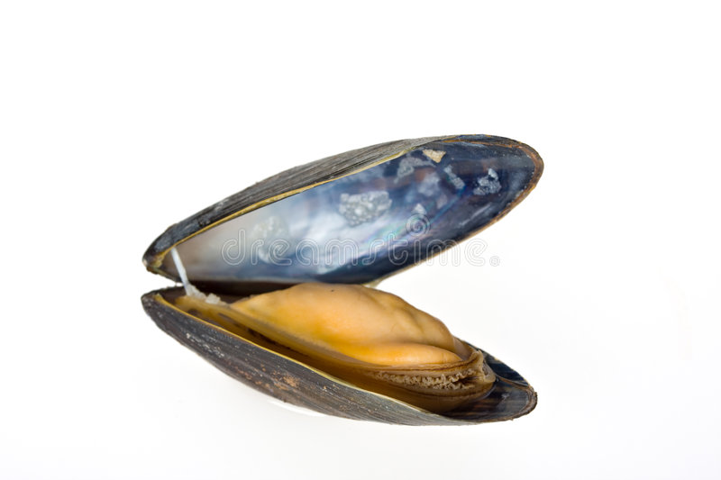 Mussel. Single blue mussel isolated on white background stock photos
