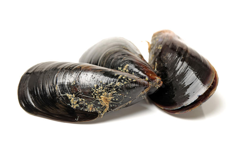 Mussel. Fresh mussel on white background royalty free stock images