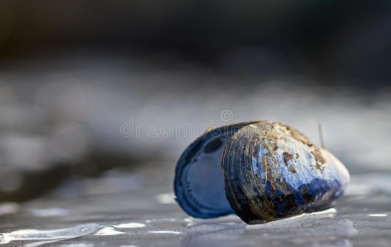Mussel on ice. A mussel from the west coast of Sweden royalty free stock image
