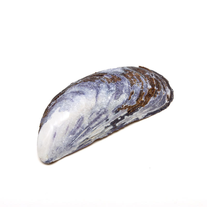 Free Mussel Shell Royalty Free Stock Images - 15581729