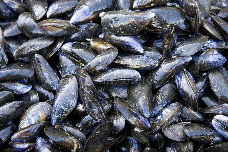 Mussel shell background stock photography