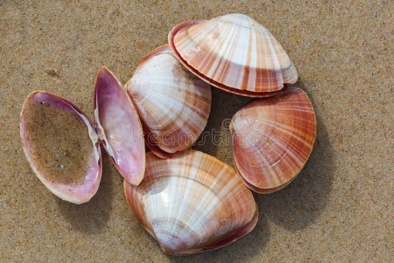 Mussel skorupy przy plażą obraz stock