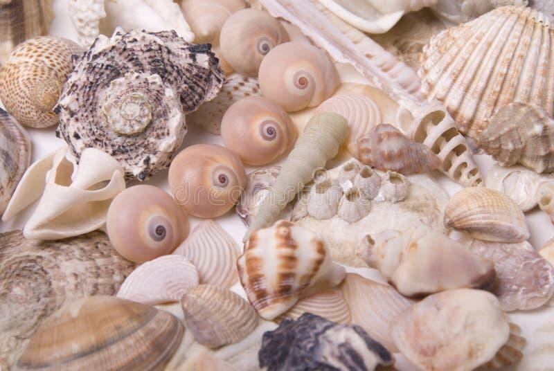 mussela стоковое изображение