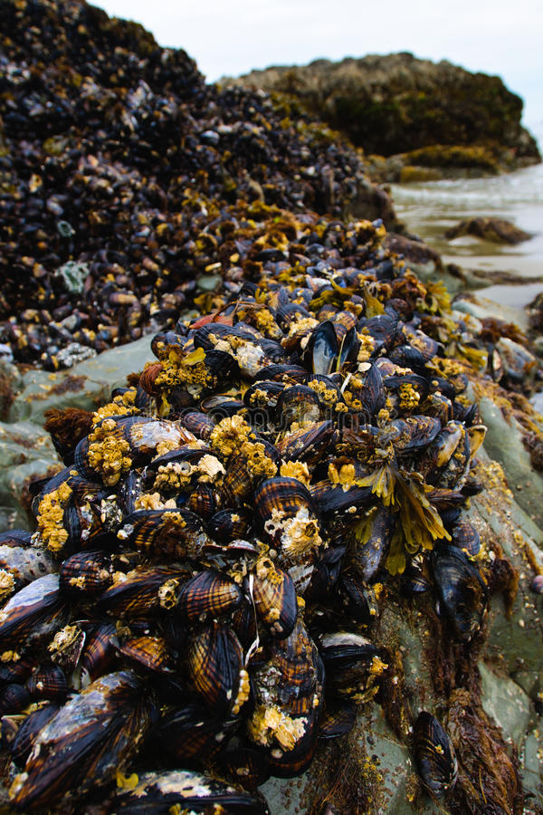 Download Mussels stock image. Image of columbia, life, pacific - 27748171