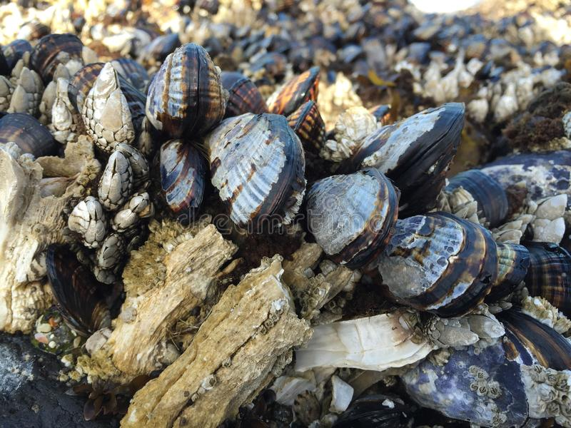 Mussels and barnacles stock photography