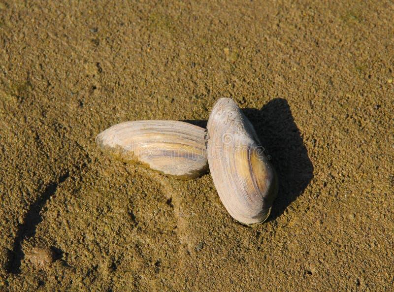 mussels dwa zdjęcie royalty free