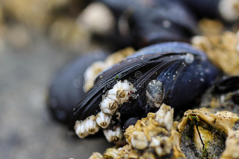 Mussels i pąkle zdjęcia stock