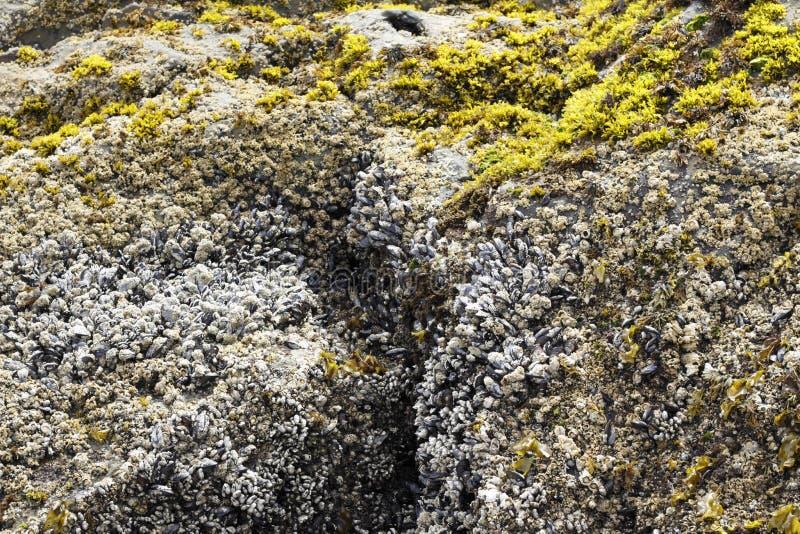 Mussels, pąkle, gałęzatki zbliżenie fotografia royalty free