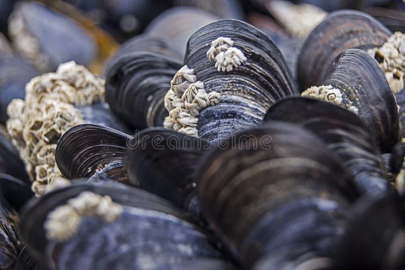 Mussels przy plażą obrazy stock