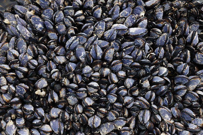 Download Mussels on seashore stock image. Image of columbia, oceanfront - 14471415