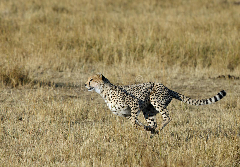 Mussiara sprinting для того чтобы поохотиться антилопа гну стоковое фото rf