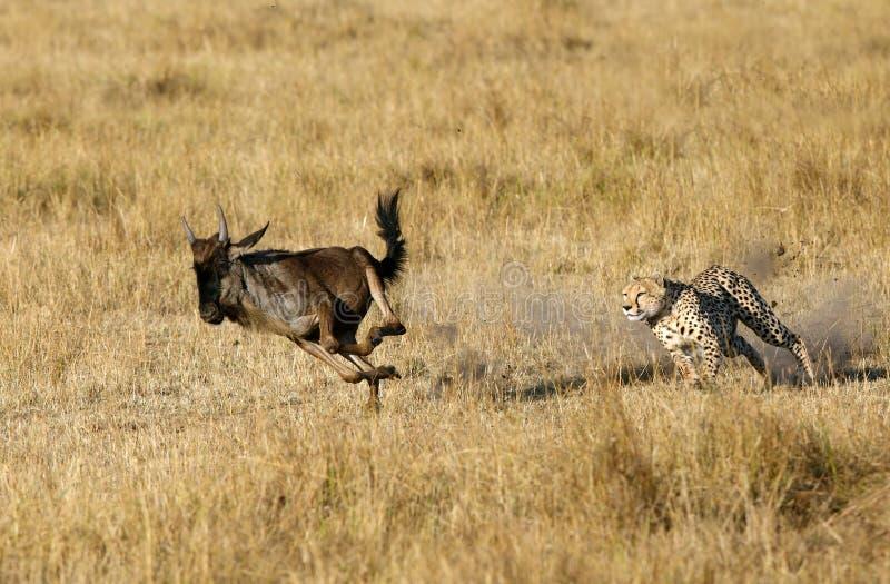 Mussiarajachtluipaard die het meest wildebeest achtervolgen royalty-vrije stock fotografie