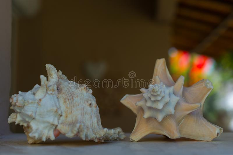 Mussla Shell royaltyfri foto