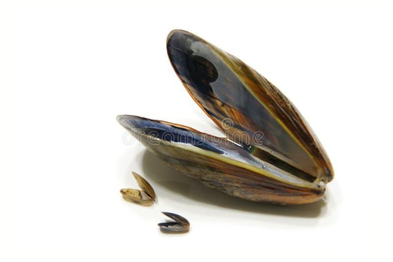musslor royaltyfri bild