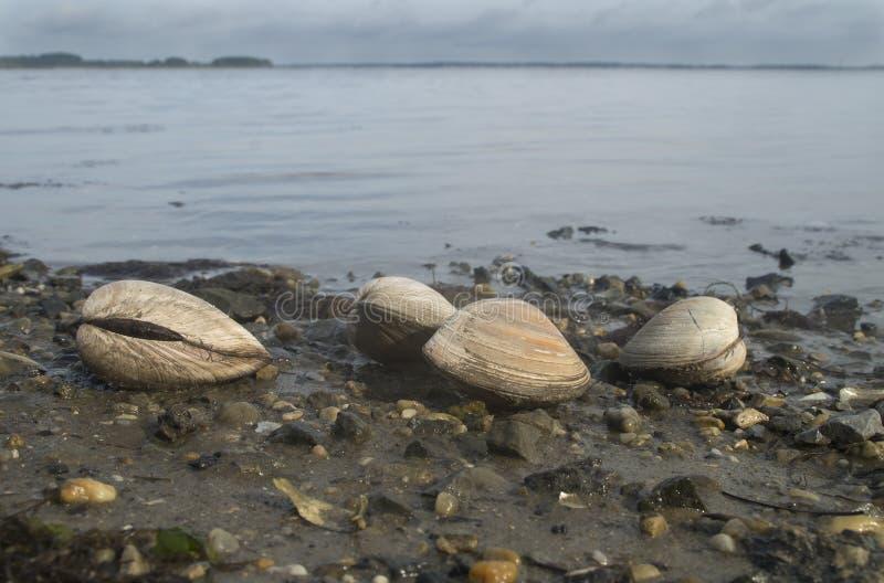 Musslor på lågvatten arkivbild