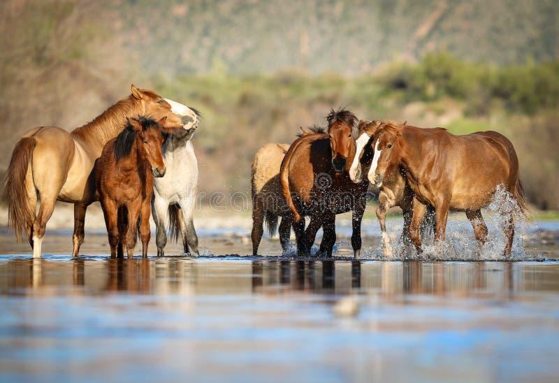 Mustang dei cavalli selvaggii nel fiume Salt, Arizona immagini stock libere da diritti