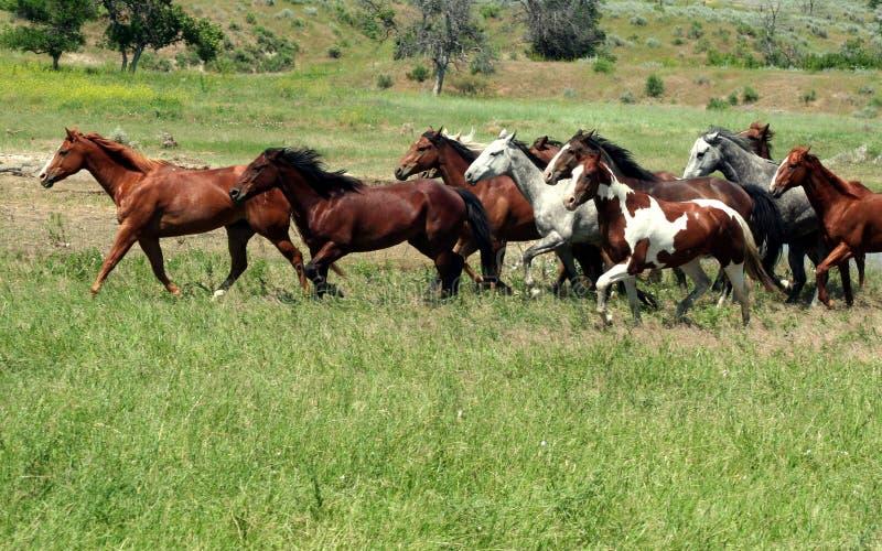 Mustang em Prarie foto de stock royalty free