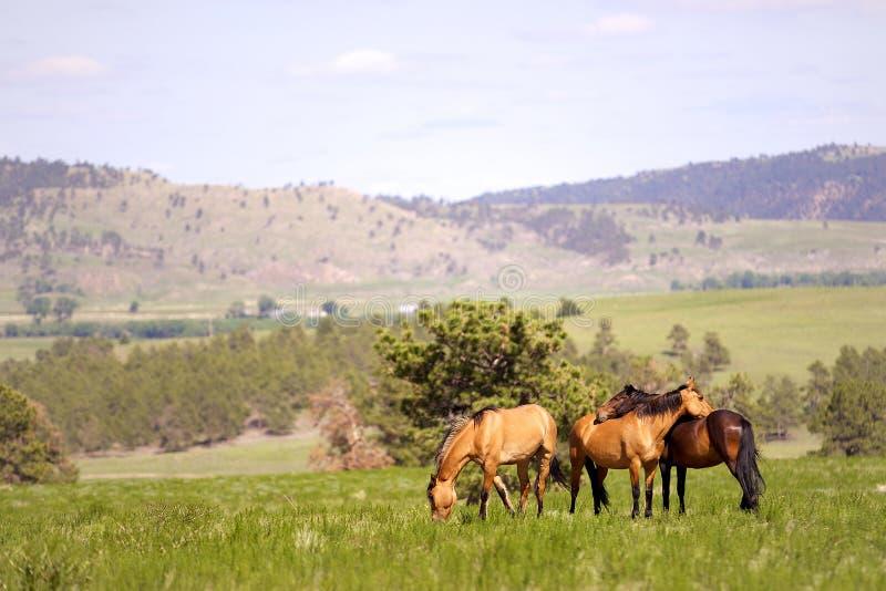 Mustang espanhóis foto de stock royalty free