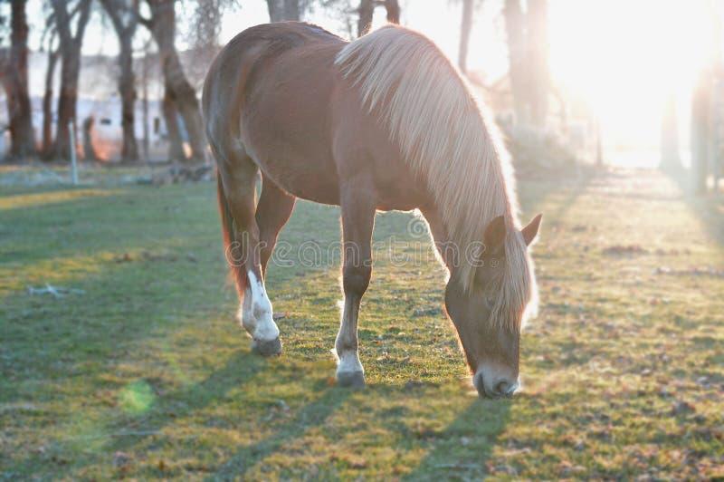Mustang het eenjarige weiden in weiland stock foto
