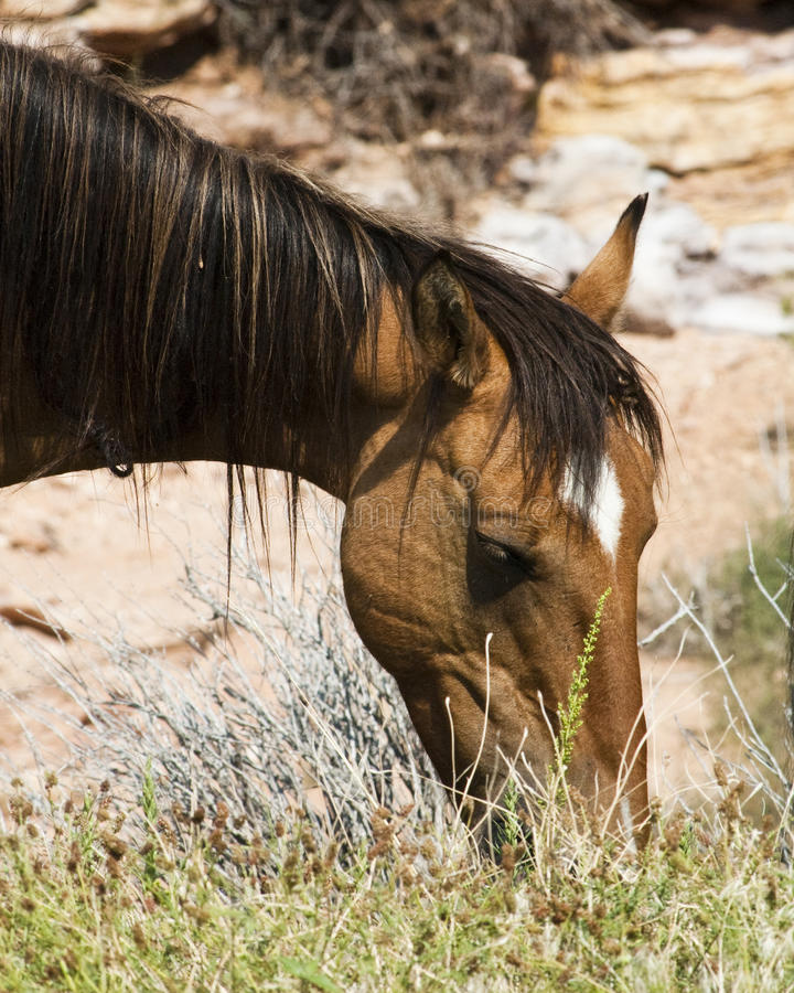 Free Mustang Mare Stock Images - 11467864