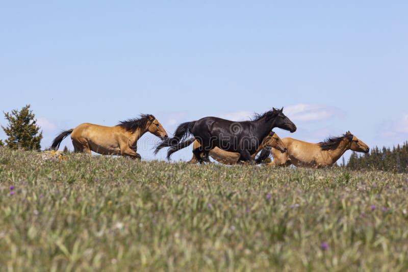 Mustang selvagens foto de stock
