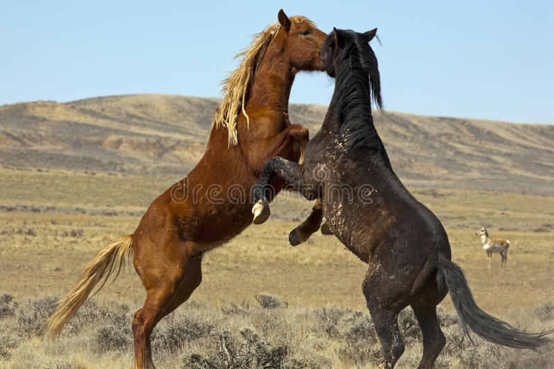 Mustang selvagens fotos de stock royalty free