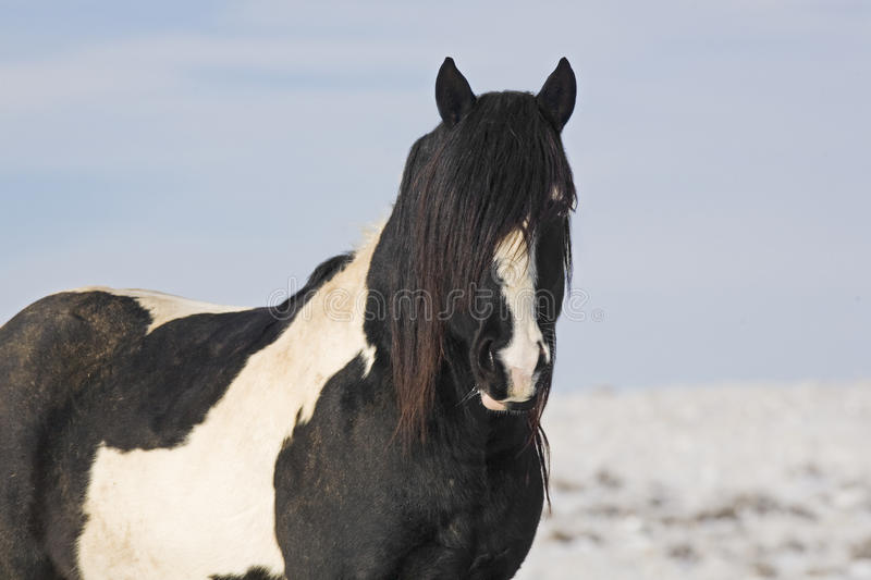 Mustang Stallion with Black Mane. This wild horse stud in Wyoming has a mane that covers the entire face royalty free stock images
